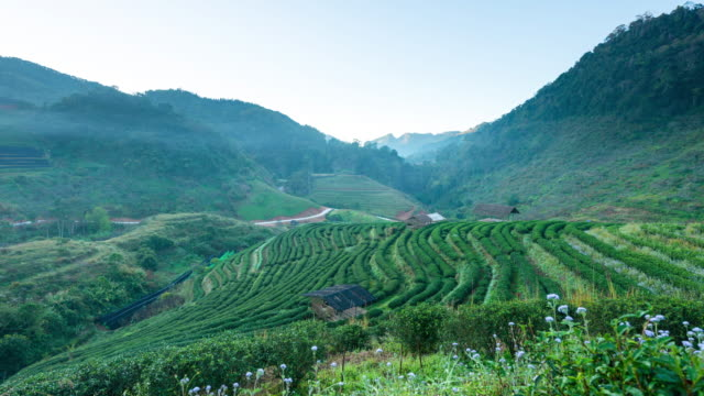 4k time-lapse:tea plantations - superfoods stock videos and b-roll footage