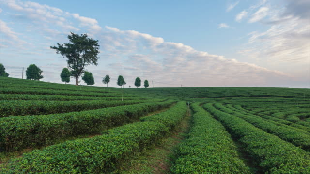 4K Time-lapse:The tea plantations background, Tea plantations in morning light at beautiful video