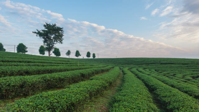 4K Time-lapse:The tea plantations background, Tea plantations in morning light, move up video