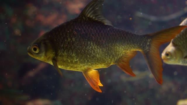 tinfoil barb in nahaufnahme, schöne tropische fischart aus asien, beliebte tropische aquarium haustier - ichthyologie stock-videos und b-roll-filmmaterial
