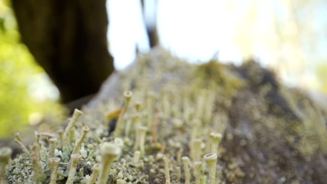 Tiny Cladonia fimbriata or lichens on the tree trunks