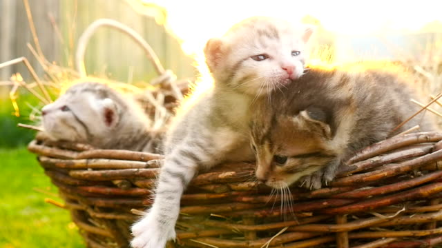 Tiny kittens in a basket HD video