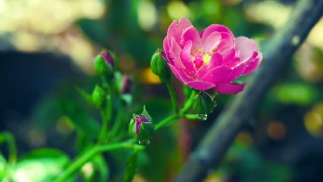 piccola rosa rosa sull'albero - disordine affettivo stagionale video stock e b–roll