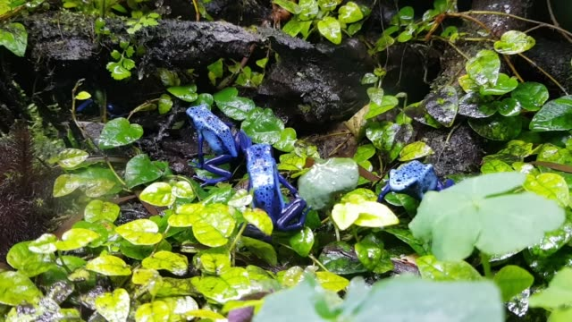 Tiny poisoned blue frogs on a wet rock forest Tiny poisoned blue frogs on a wet rock forest frog stock videos & royalty-free footage