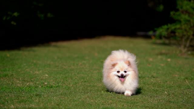SLO - MO Tiny Pomeranian Dog Running with Joy Tiny Pomeranian Dog Running with Joy purebred dog stock videos & royalty-free footage