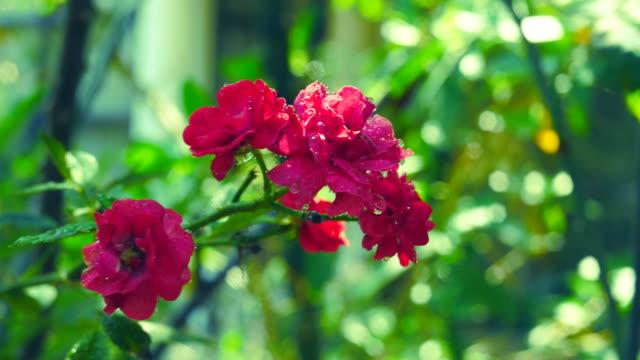 piccola rosa rossa sull'albero, fertilizzante spray - disordine affettivo stagionale video stock e b–roll