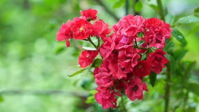 piccola rosa rossa sull'albero - disordine affettivo stagionale video stock e b–roll