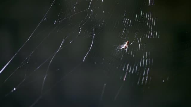 liten spindel attackerar det är be som flyger in i spindelnät på mörk bakgrund. - spindel arachnid bildbanksvideor och videomaterial från bakom kulisserna