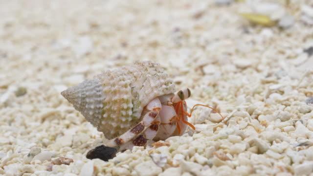 macro: tiny white hermit crab exploring the sandy shoreline of tropical island. - granchio video stock e b–roll