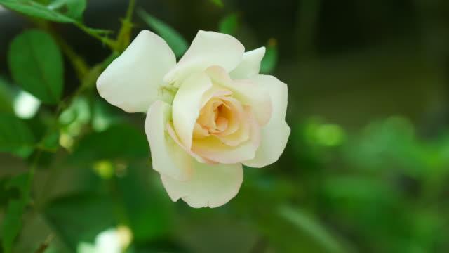 piccola rosa bianca sull'albero - disordine affettivo stagionale video stock e b–roll