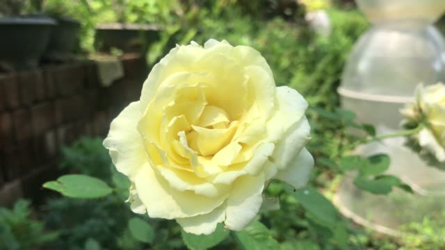 tiny white rose on tree - disordine affettivo stagionale video stock e b–roll