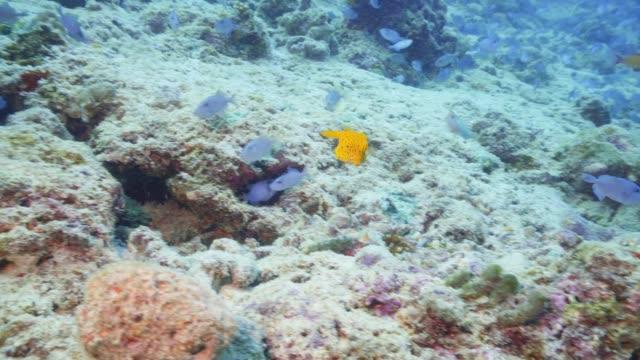 vídeos de stock, filmes e b-roll de um minúsculo peixe caixa amarela nadando como louco - equipamento de esporte aquático