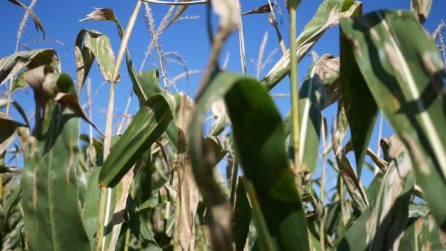 Tips of corn stalks on farmland - normal version