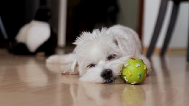 昼寝をしようとしている疲れた犬。マルタの犬はアパートの中で彼のボールのおもちゃで横たわって - 愛玩犬点の映像素材/bロール