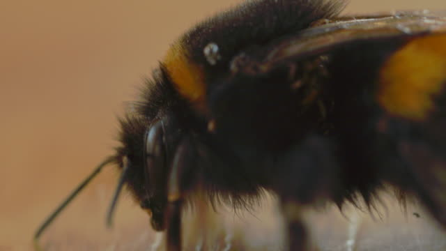 Tired Old Bumble Bee Infected With Mites. Macro Shot video