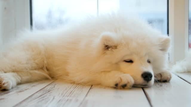 vídeos de stock e filmes b-roll de tired sleeping samoyed puppy lying on the floor - samoiedo