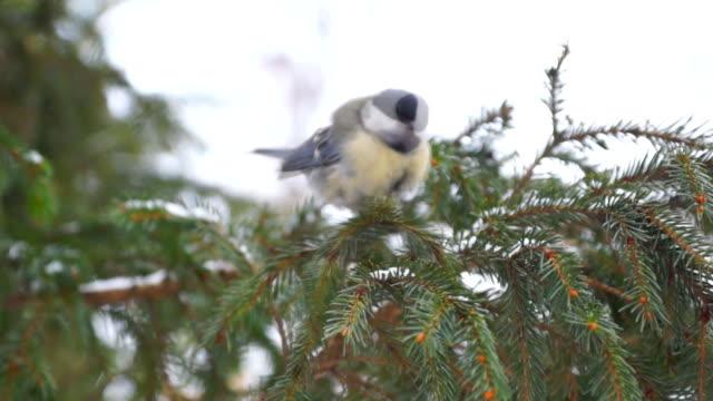 tit bird sits on a fir branch video
