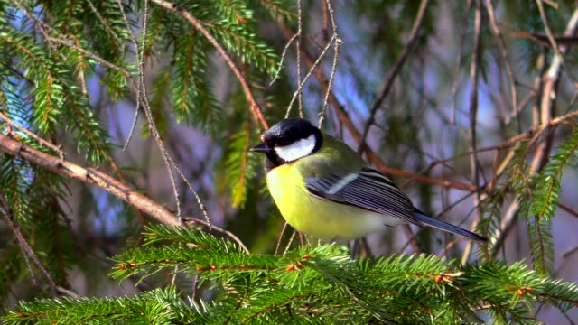 tit is sitting on a branch. - appollaiarsi video stock e b–roll