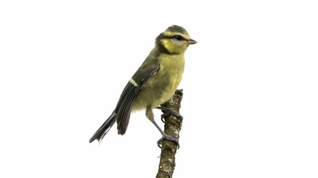 tit perching and pecking in front of a white background video