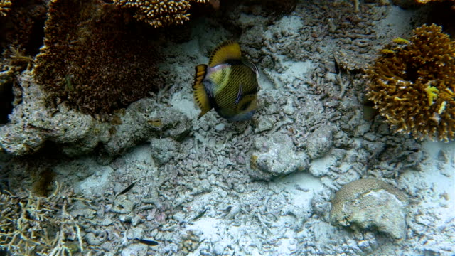 Titan triggerfish feeding a starfish on coral reef - Maldives video