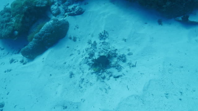 Titan triggerfish protected nest video