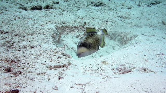 Titan Triggerfish stirring up sand and moving coral