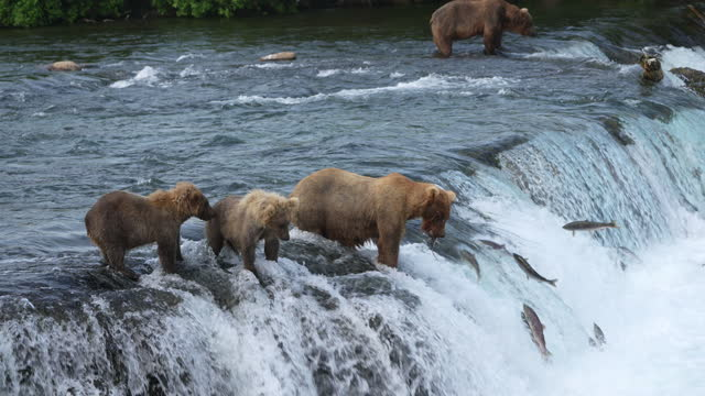 Title: Brown Bear (#128 Grazer) with her two yearling cubs Catches a Sockeye Salmon at Brooks Falls in Katmai National Park, Alaska Title: Brown Bear (#128 Grazer) with her two yearling cubs Catches a Sockeye Salmon at Brooks Falls in Katmai National Park, Alaska bear stock videos & royalty-free footage