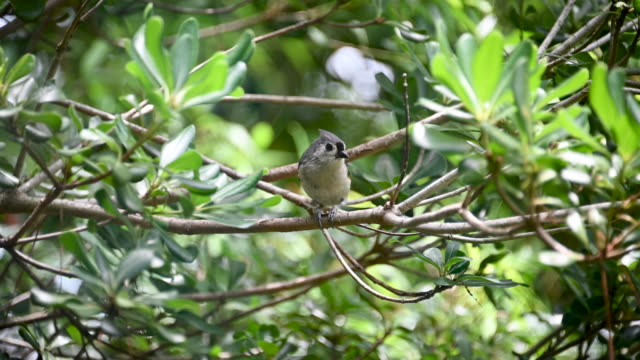 titmouse cracking seeds - appollaiarsi video stock e b–roll