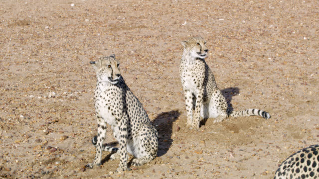 MS to CU Blood on cheetahs after hunting,Namibia,Africa