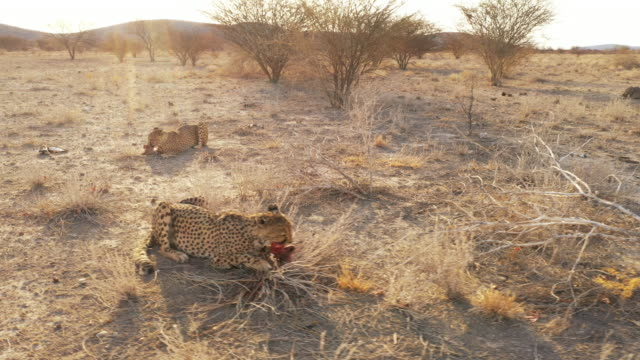 MS to WS Cheetah feeding on meat in sunny desert, Namibia, Africa