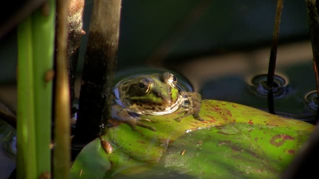 Toad in pond video