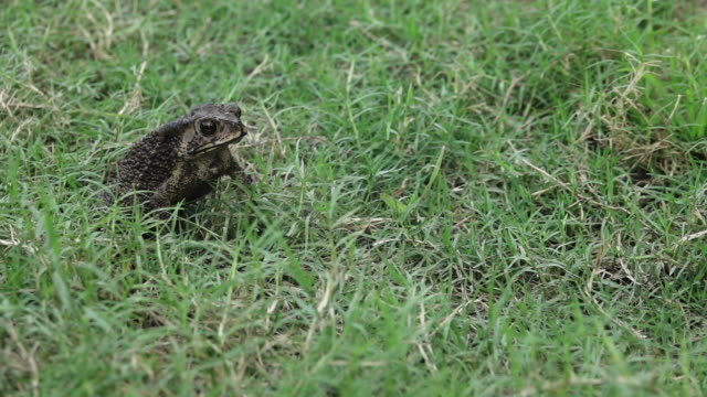 Toad jumping slow motion Toad jumping on a grass frog stock videos & royalty-free footage