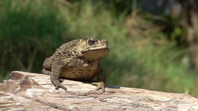 Toad jumping slow motion Close-up toad jumping on the stone slow motion frog stock videos & royalty-free footage