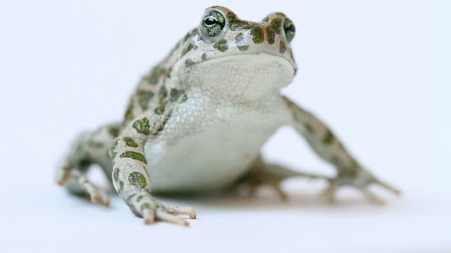 Toad Portrait with Funny Face Jumping Away video