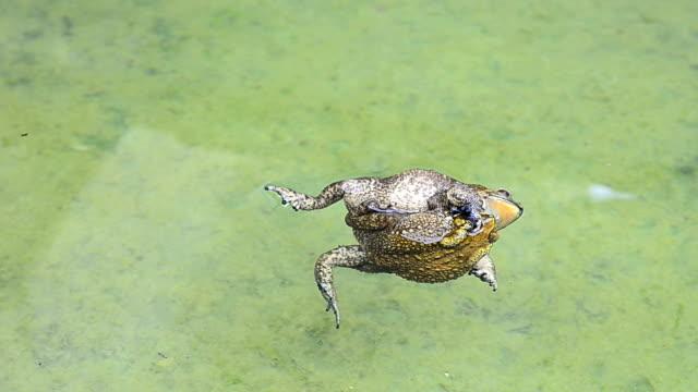 toads hug and die video
