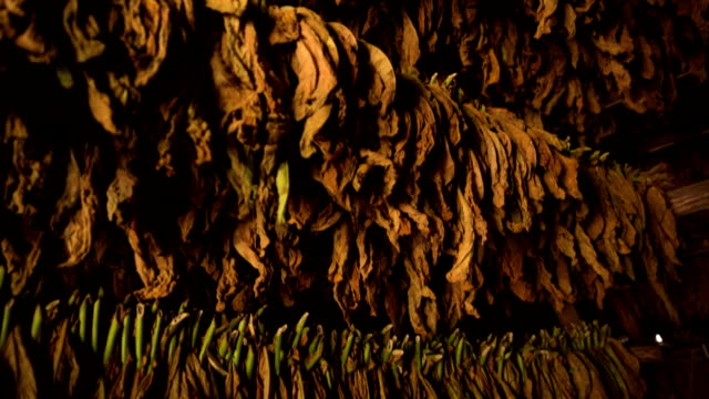 tabacco di cuba ad asciugatura rapida dagli scaffali - nicotina video stock e b–roll