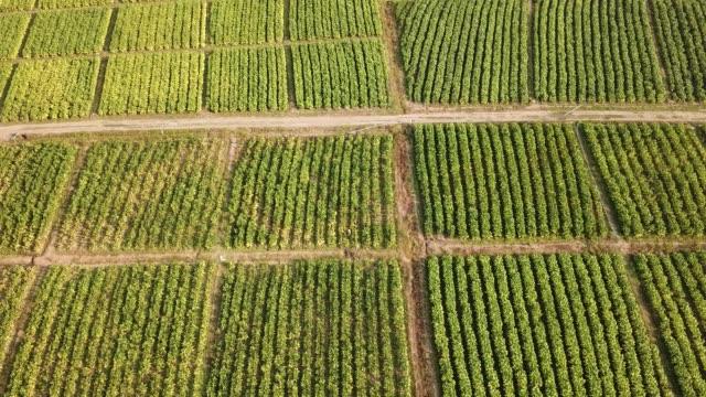 tobacco farm aerial view shot - nicotina video stock e b–roll