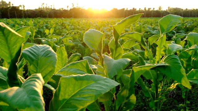 tobacco farmland in sunset - nicotina video stock e b–roll