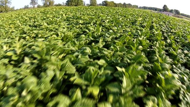 campo di tabacco - nicotina video stock e b–roll