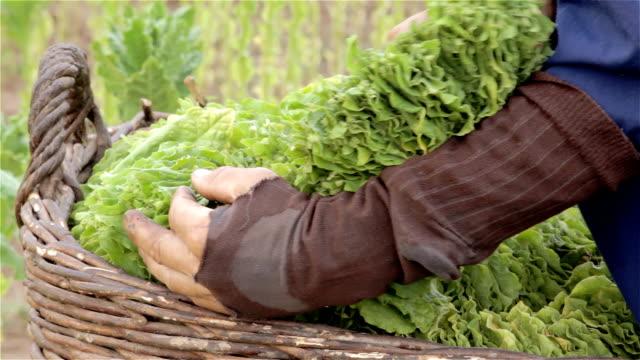 tabacco harvest - nicotina video stock e b–roll