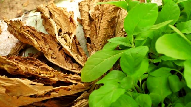 foglie di tabacco da vicino coltivazione tabacco - nicotina video stock e b–roll