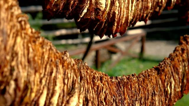 küba'da bir barakada tütün kuruyan yapraklar - tütün mamulleri stok videoları ve detay görüntü çekimi