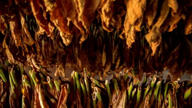 foglie di tabacco - nicotina video stock e b–roll