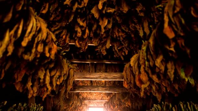 piante del tabacco in un fienile di cuba ad asciugatura rapida - nicotina video stock e b–roll