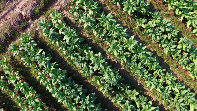 tütün bitkileri tarım arazileri yüksek hava görünümünü 4k hareket - nikotin stok videoları ve detay görüntü çekimi