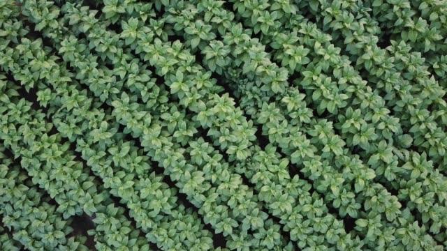 tütün bitkileri tarım arazileri yüksek hava görünümü 4k hareket (yakınlaştırma) - nikotin stok videoları ve detay görüntü çekimi