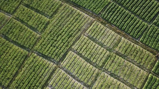 tütün bitkileri tarım arazileri yüksek hava görünümü 4k hareket (tilt kadar) - nikotin stok videoları ve detay görüntü çekimi