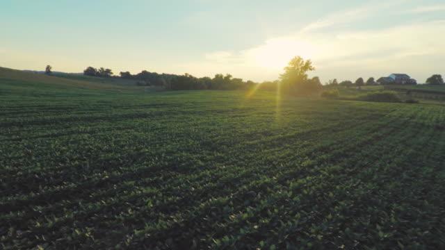 tobacco plants floating through rows on farm aerial - nicotina video stock e b–roll