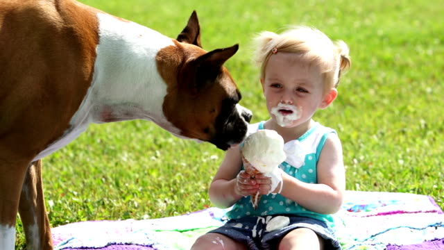 Toddler and doggie share Ice cream Boxer dog eats little girls ice cream cone and then the little girl continues to have her cone.  This beautiful toddler displays the beauty of innocence. ice cream stock videos & royalty-free footage