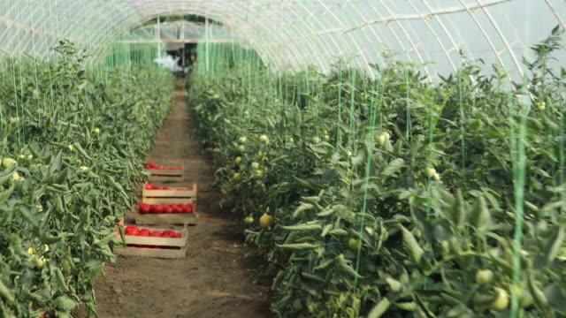 tomaten-farm - gewächshäuser stock-videos und b-roll-filmmaterial